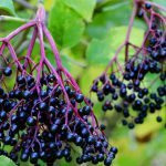3 Health benefits of Elderberry: Why you need to have this
